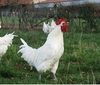The famous Bresse chicken